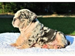 English Bulldog Puppies For Sale English Bulldog Puppies Dogs For Sale In Raleigh North Carol English Bulldog Puppies Bulldog Puppies English Bulldog Breeders