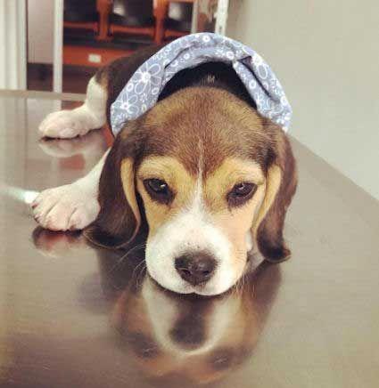 Beagle Friendly And Curious Beagle Puppy Dog Breeds Beagle Dog