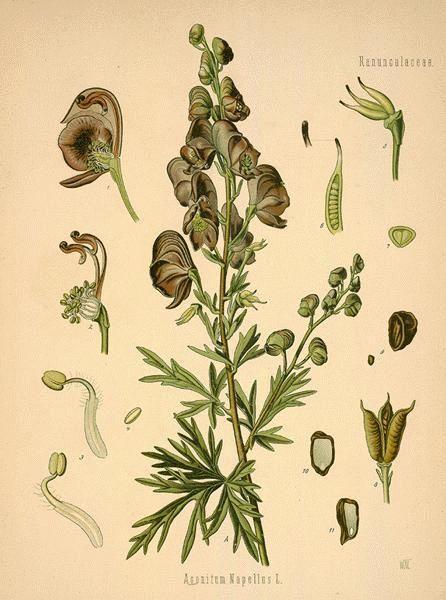 Aconitum aka Aconite | The Poison Diaries