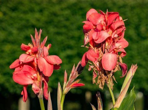 Canna Uberwintern Winterschutz Fur Das Indische Blumenrohr Mein Mediterraner Garten Indisches Blumenrohr Mediterraner Garten Blumen Stauden