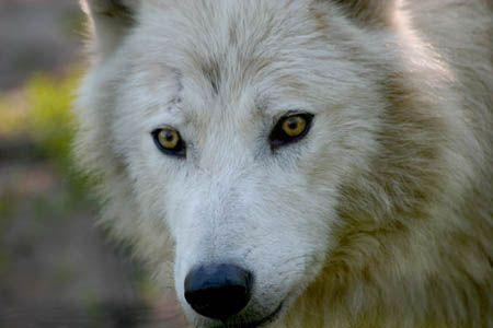 wolf spirit: fierce.