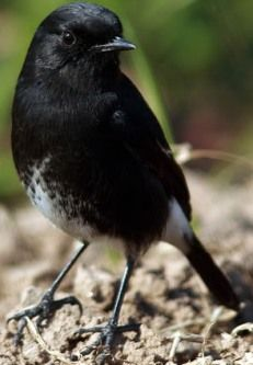 Download Suara Burung Karakter Ngebren Rapat  ac986b1f3e