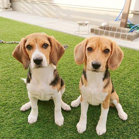 Double Beagle Beagle Beagle Breeds Beagle Hound