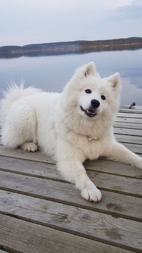 As Soft as. this Samoyed! - Maria - As Soft as. this Samoyed! As Soft as. this Samoyed! Cute Baby Dogs, Super Cute Puppies, Cute Baby Animals, Adorable Puppies, Wild Animals, Bear Dog Breed, Teddy Bear Dog, Small Teddy Bears, Cute Teddy Bears