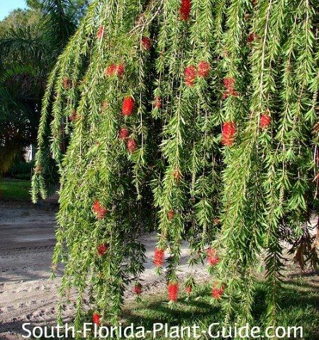 Long Droopy Branches In 2020 Flowering Trees Florida Plants Plant Guide