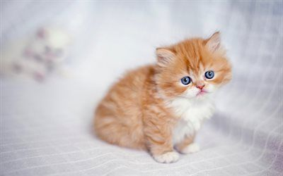 Download Wallpapers Persian Cat Cute Animals Kitten Blue Eyes Ginger Cat Cats Close Up Domestic Cats Pets Ginger Persian Cat Ginger Kitten Persian Be Ginger Cats Cute Animals Ginger Kitten