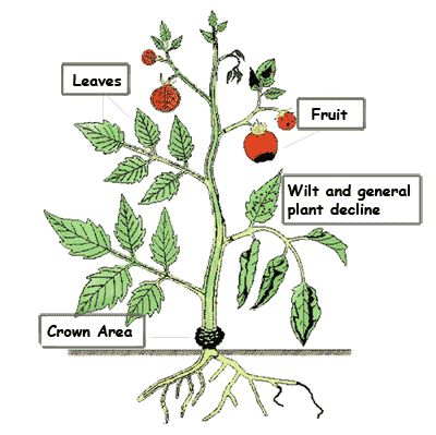 Vegetable MD. Fascinating site...click on problem area of plant and it shows detailed pics and what the plant problem is!