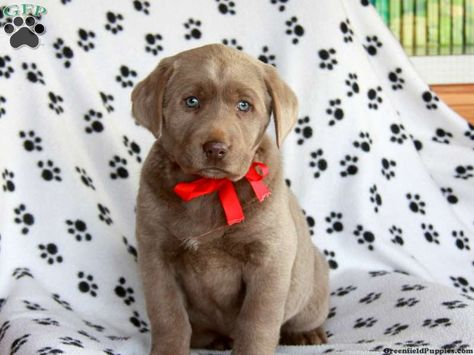 Labrador Retriever Silver Puppies For Sale In Pa Labrador