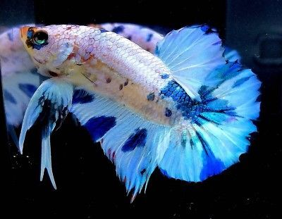 Live Fancy Marble Male Betta Fish 1 4 034 Body Thailand Plakat Halfmoon Hmpk Mbb22 Betta Betta Fish Live Fish For Sale