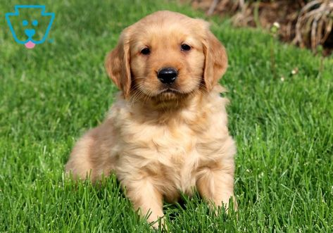 Dash Puppies For Sale Dogs Golden Retriever Cute Baby Puppies