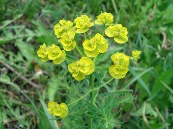 Wilczomlecz Sosnka Wilczomleczowate Euphorbia Cyparissias Roslina Wiosenna Wiosny Wio Cholesterol Remedies Cholesterol Symptoms Healthy Cholesterol Levels