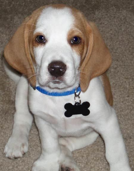 Beagle Friendly And Curious White Beagle Cute Beagles Beagle Dog