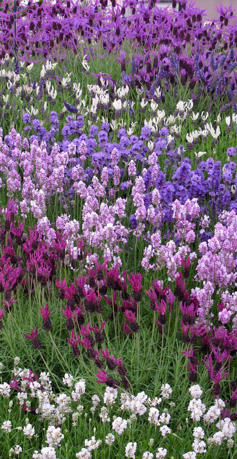 Spanish lavender surrounded by purples and a dash of white