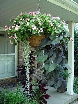 How to grow beautiful hanging baskets!