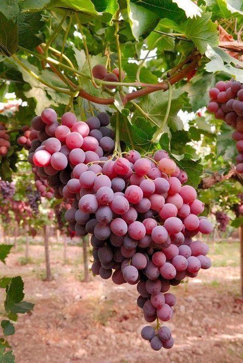 100 Ideas De Uvas Uvas Frutas Y Verduras Uvas Para Vino