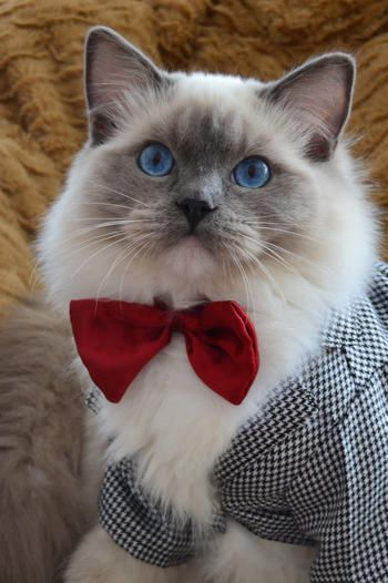 January 14th Is National Dress Up Your Pet Day Cattime Ragdoll Cat Pet Day Ragdoll Kitten