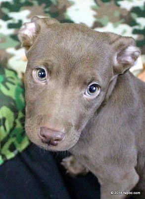 Pitbull puppies for sale fort wayne florida
