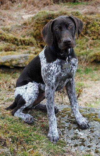 Everything I Love About The The Sporty Gsp Gsp Gspadventures Germanshorthairedpointerpuppies German Shorthaired Pointer Gsp Dogs Pointer Dog