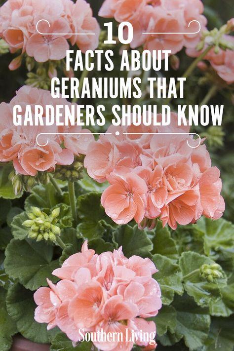 Geranium Planters, Geraniums Garden, Shade Garden Plants, House Plants, Garden Yard Ideas, Lawn And Garden, Garden Beds, Garden Landscaping, Garden Paths