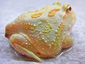 Lime Green Albino Pacman Frog | Albino animals, Amazing frog, Amphibians