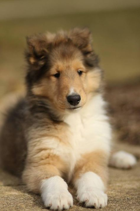 Pin By Claire Hayes On Collies In 2020 Rough Collie Collie