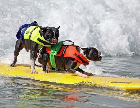 Dogs Surfing at California Beach