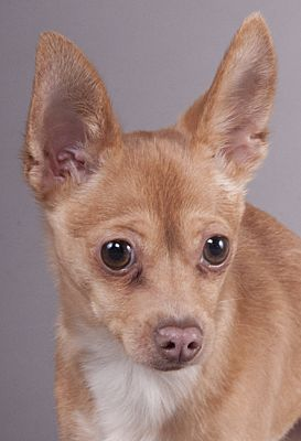 Pictures Of Qbert A Chihuahua For Adoption In Chicago Il Who Needs A Loving Home Pet Adoption Cat Adoption Chihuahua
