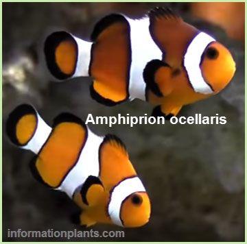 انواع اسماك المهرج Clownfish قوائم الاسماك قوائم انواع الاسماك معلومان عامه معلوماتية نبات حيوان اسماك فوائد Lockscreen Art Fish