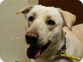 Rogers Ar Labrador Retriever Meet Molly A Dog For Adoption