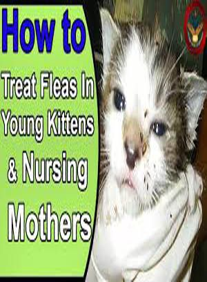 How To Treat Fleas In Young Kittens Cat Guides Kittens Cat Diseases Frontline Plus For Cats