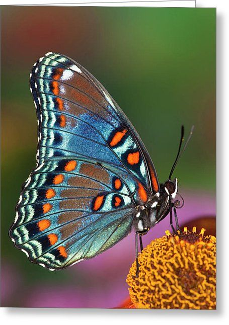 Red Spotted Purple Butterfly, Limenitis Greeting Card by Darrell Gulin