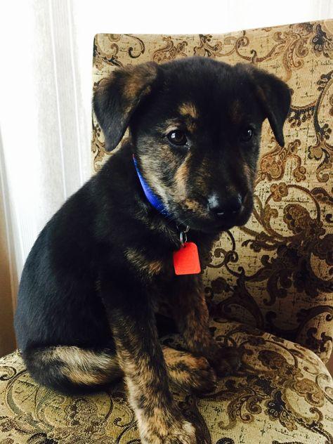 Mastador Dog For Adoption In Mankato Mn Adn 406780 On Puppyfinder Com Gender Male Age Baby Mastador Dog Dogs Animals