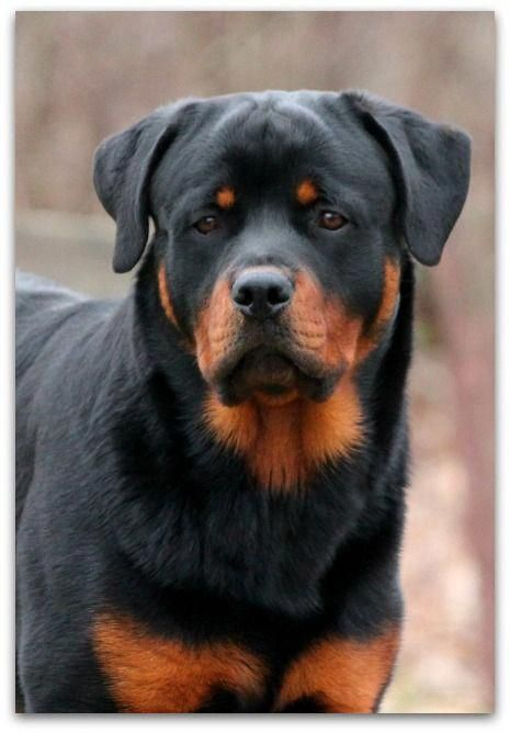 All About The Playful Rottweiler Puppy Size Rottweilercorner