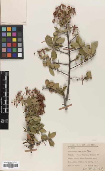Pyracantha Coccinea M Roem Buisson Ardent Buisson Europeana