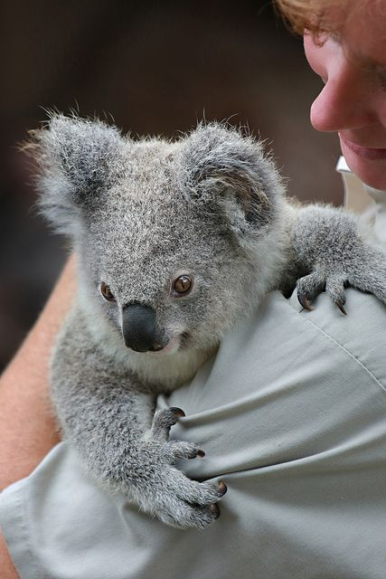 at the top of my bucket list ~ travel to Australia so I can hold a koala bear and snorkel the Great Barrier Reef.