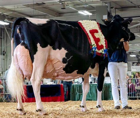 530 Cattle Ideas Cattle Animals Farm Animals