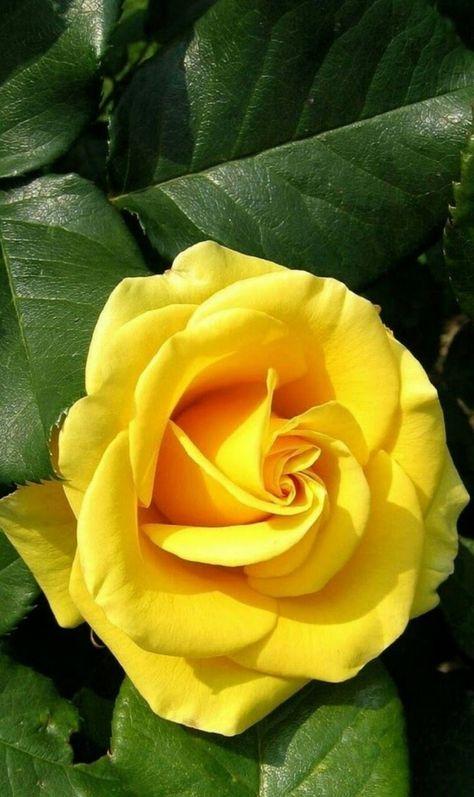Fiori Gialli Rose.Yellow Rose Rose Belle Bellissimi Fiori Fiori Gialli