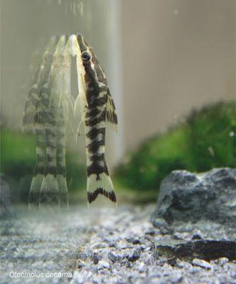Perfect Freshwater Algae Eaters In Aquariums Zebra Otocinclus The Zebra Otocinclus Otocinclus Cocama Is Among The Aquarium Catfish Fish Tank Small Catfish