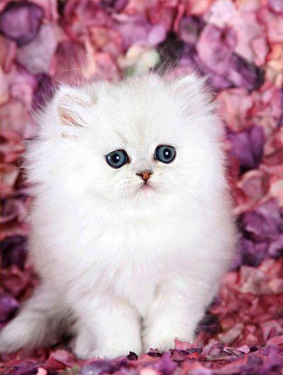 Cute Names For Stuffed Animals List As Kittens Game Lumber Mill Kittens For Sale Johnstown Pa Betwe Teacup Persian Kittens Fluffy Kittens Persian Cat White