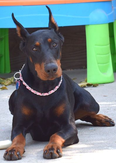 Doberman Pinscher Female Doberman Doberman Doberman Puppy