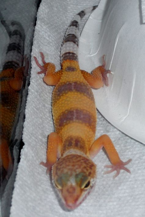 My awesome leopard gecko, Zeke.