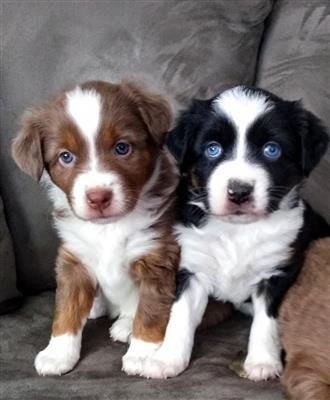 Mini Aussies Puppies And Dogs For Sale Pets Classified Ad