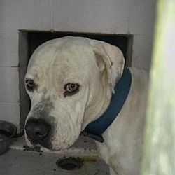 Pictures Of Murica Rj A American Bulldog For Adoption In