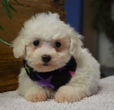 Bichon Frise Puppy For Sale In Tucson Az Adn 69469 On