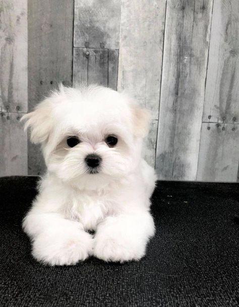 Chrisman Maltese in Pennsylvania   Maltese puppies   Good Dog