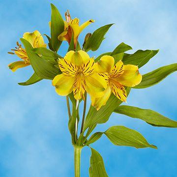 Gorgeous Select Yellow Alstroemeria Flowers Alstroemeria Flower Delivery Fresh Flower Delivery