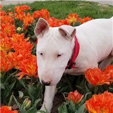 Bully: Bull Terrier puppy for sale near Kansas City