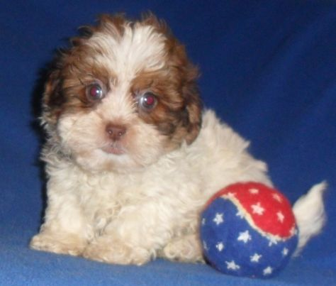 Alvis Male Shih Poos Puppy For Sale In Ohio 500 Pup Poodle