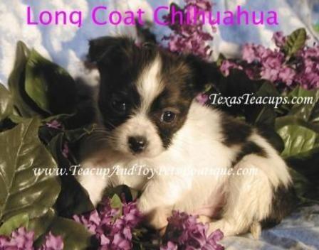 List of Pinterest teacup pomeranian for sale texas pictures