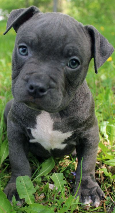 Female Blue Pitbull Puppy Pitbull Puppies For Sale Blue Nose